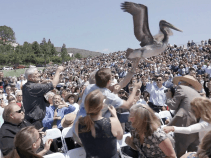 Watch pelicans swoop down on crowd at Pepperdine graduation ceremony