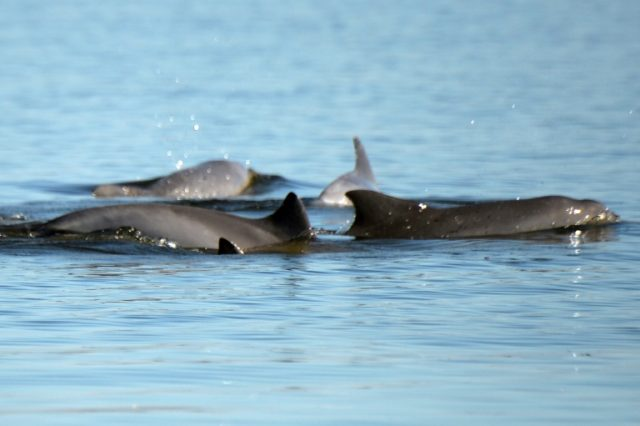 Dolphins swim in the Guanabara Bay in Rio de Janeiro, Brazil in 2015
