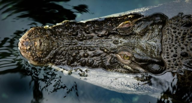 Saltwater crocodiles from Malaysia found at London Heathrow Airport had not been packed in accordance with international regulations, making the importation illegal