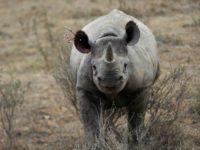 Poachers shoot dead three rhinos inside Kenyan sanctuary