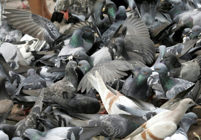 A Thai district chief is trying to cut down on the pigeon population by paying residents to trap the birds and organising a cook-off to build support for the cull