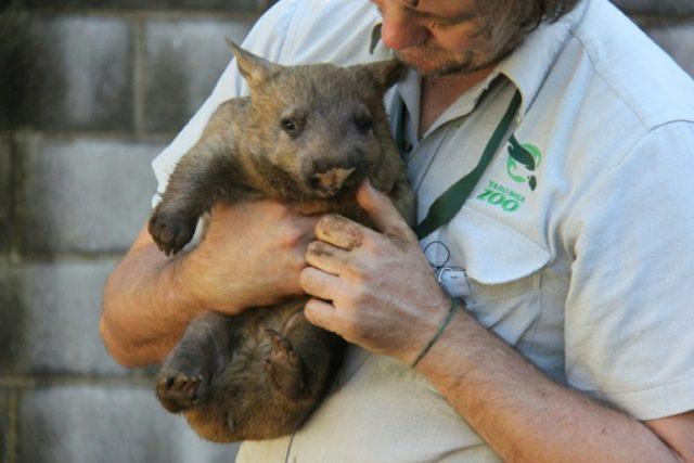Female southern hairy-nosed wombats are more likely to bite their partners on the bottom when at their most fertile