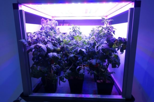 Tomatoes grow in an LED-lighted box, similar to what astronauts use to grow lettuce on the International Space Station, at Fairchild Tropical Botanic Garden in Miami on April 25, 2018