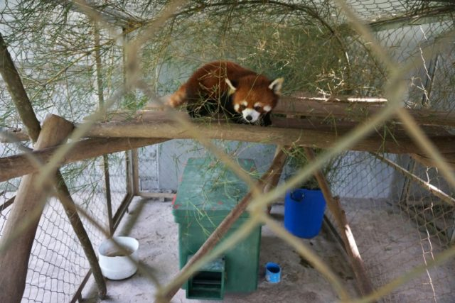 "The red pandas are coveted for their shiny copper fur and ""cute"" appearance"