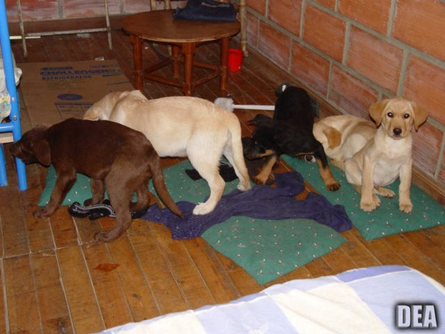 US: Vet implanted heroin in puppies for Colombia drug ring