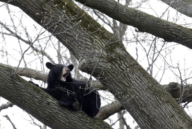 Young bear roaming New Jersey towns tranquilized in tree