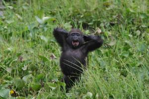 Gorilla poop survey offers insights into evolution of humans' microbiome