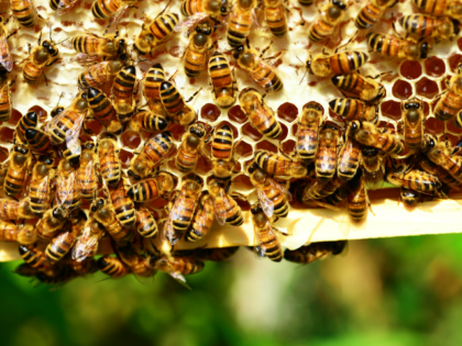 Delingpole: 'Bees In Peril' Is Just Another Green Lie