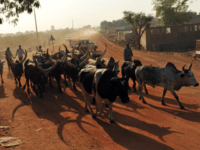 Cattle herders lead cows and bulls down an unpaved road in Southern Sudan's main city Juba on January 11, 2011. Juba is preparing to become a capital city. AFP PHOTO/ROBERTO SCHMIDT (Photo credit should read ROBERTO SCHMIDT/AFP/Getty Images)