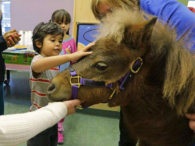 In this Nov. 13, 2014 photo, patients Nathaniel Lopez, left, and Araceli Morales pet Lunar one of two miniature horses from 'Mane in Heaven' that made a visit to the pediatric unit at Rush University Medical Center in Chicago. Mystery and Lunar, small as big dogs, are equines on a …
