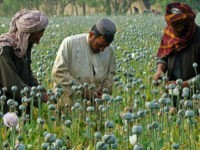 FILE -- In this April 21, 2014 file photo, Afghan farmers harvest opium, in Helmand province, Afghanistan. For the past month, the Taliban have held control over most of Afghanistan's Helmand province, where the majority of the world's opium is grown -- and as insurgent attacks intensify around the provincial …