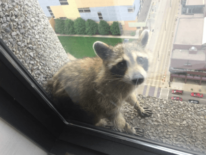 A daring raccoon captured the hearts of many social media users around the world as he climbed a skyscraper in St. Paul, Minnesota, and lived to tell the tale.