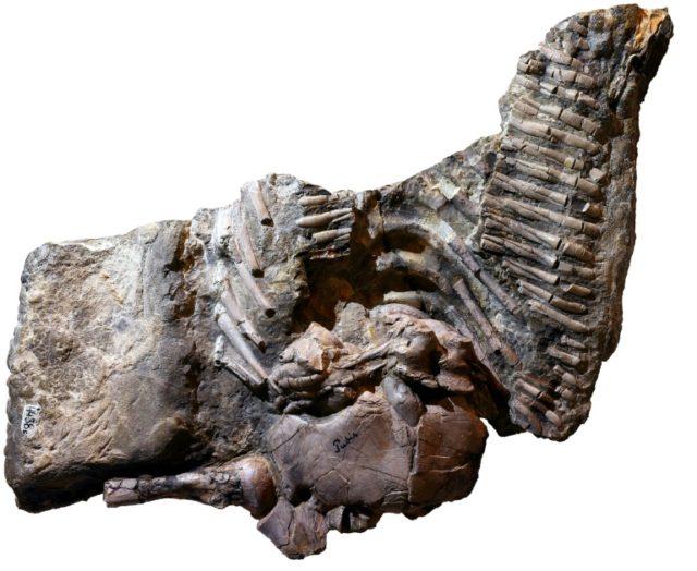 "The specimen of ""Proneusticosaurus"" silesiacus as preserved today"