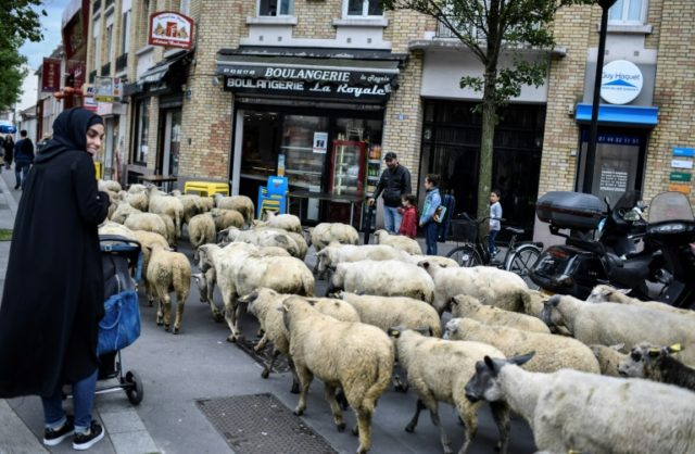 Urban farmers say monthly outings for their sheep bring joy to the Paris suburb of Aubervilliers
