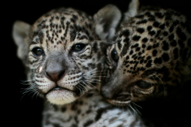 """Two jaguar cubs are pictured at the """"Reino Animal"""" zoo in Teotihuacan, Mexico state, on April 27, 2018; the country's wild jaguar population currently stands at 4,800, a 20 percent increase from 2010"""