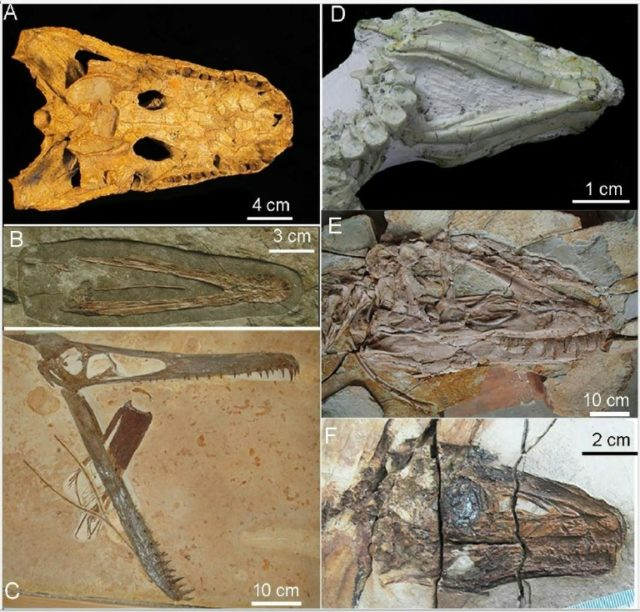 These handout images obtained June 20, 2018 courtesy of Li et al.2018 show fossils discovered in Northeast China that indicate Tyrannosaurus rex couldn't stick out their tongues like lizards. Pictures by letters are: (A) Alligator prenasalis, pterosaurs (B) Liaoxipterus brachycephalus and (C) Ludodactylus sibbicki, (D) basal ornithischian Jeholosaurus shangyuanensis, (E) …