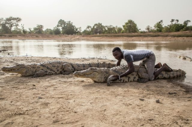 Give me a hug: Crocodiles in Bazoule are considered sacred. Local youths often sit on them, saying the crocodiles never attack them