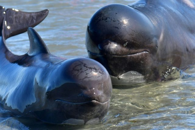 Pilot whales feed primarily on squid and have a distinct, rounded head with a very slight beak
