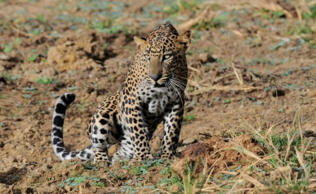 Leopards are protected animals in Sri Lanka and they are also in the International Union of Conservation of Nature (IUCN) Red List of endangered animals
