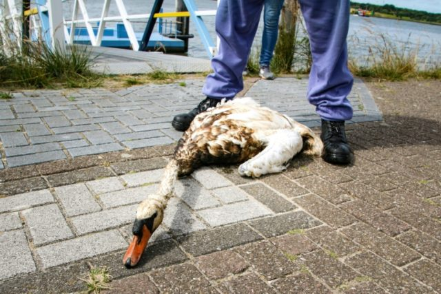 An animal rescue team volunteer looks at an oil covered swan after a freighter punctured its hull while mooring in the Rotterdam harbour