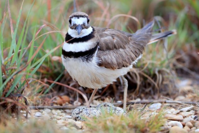 A killdeer has laid four eggs in a nest right by the planned location for the main stage at Bluesfest
