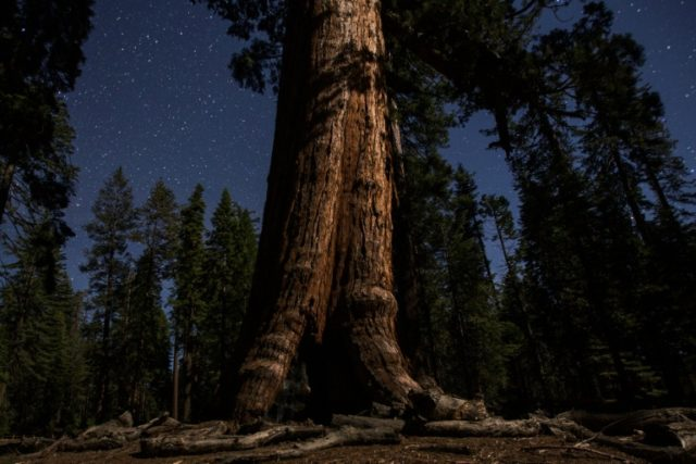 The oldest sequoias can live for more than 3,000 years, their bark resisting insect attacks and helping them survive countless wildfires over the millennia