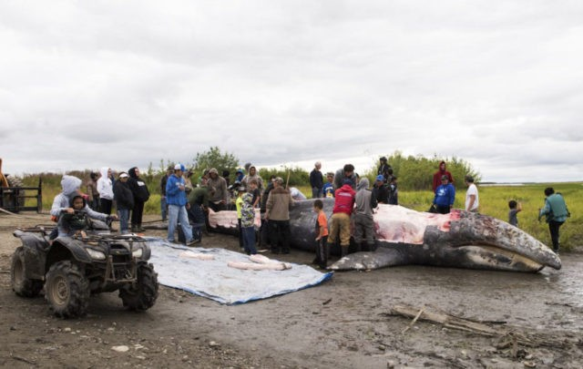 APNewsBreak: US won't prosecute Alaska gray whale kill
