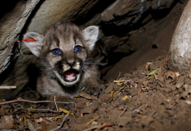 4 new mountain lions kittens found in California mountains