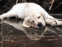 FILE- In this March 28, 2018, file photo, Harbor, an 8-week old labrador retriever, takes a nap during a news conference at the American Kennel Club headquarter in New York. New dog owners can expect to shell out $1,200 to $2,000 in the first year, and as much as $14,500 …