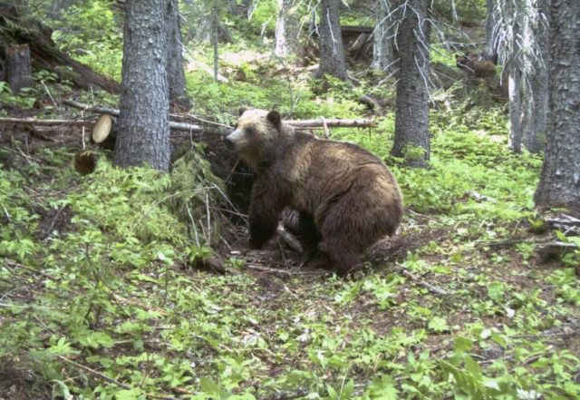 Bear researcher attacked by grizzly to stay on career path