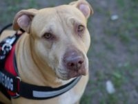 Care Animal Pit-bull Veterinarian Service Dog