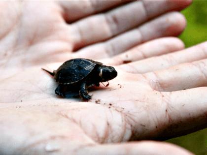 Bog Turtle New Jersey