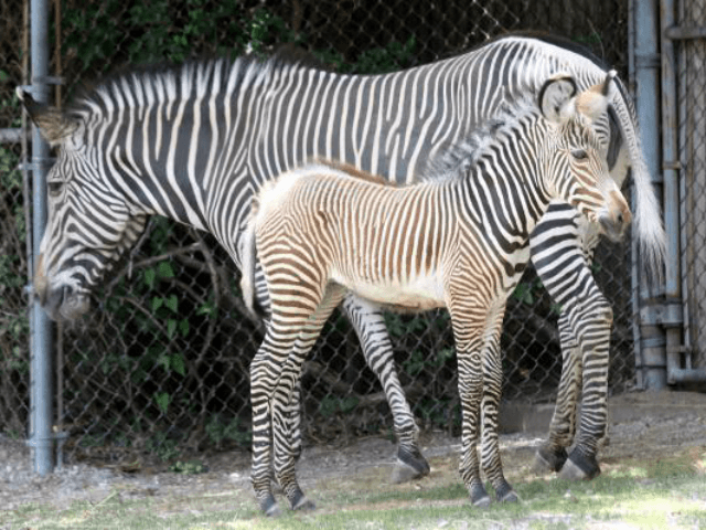 A zoo in Cairo is facing criticism from visitors who allege a pair of zebras -- not the ones pictured here -- are actually donkeys painted with black and white stripes. File Photo by Bill Greenblatt/UPI