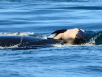 July 24: A baby orca whale is being pushed by her mother after being born off the Canada coast near Victoria, British Columbia. (Center for Whale Research via AP)