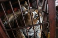 A caged Siberian tiger at the Chinese Prosperous Nation Circus Troupe while in Dongguan