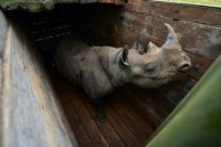 Between 2005 and 2017, 147 black rhinos were transferred to new habitats in Kenya, the tourism ministry said