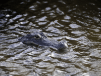 Sheriff's officials said the alligator believed to be responsible for the attack was captured and destroyed. File Photo by David Tulis/UPI