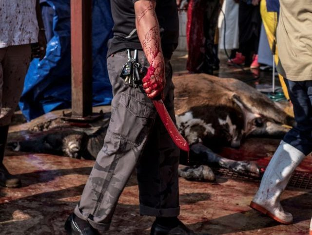 Blood spills from the knife used to slaughter a cow at an abattoir in Lenasia, Johannesburg, on August 22, 2018, where local Muslims gather to prepare meat cuts for the Islamic festival of Eid al-Adha. - The Islamic world is celebrating Eid al-Adha, the festival of sacrifice. Muslims traditionally sacrifice …