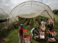 UK Farm EU Migrant Workers Labor