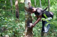 Rubber trees take six to seven years to mature before they can be tapped, a process which involves making incisions in the tree's bark to allow its milky sap to collect in a cup attached to the trunk