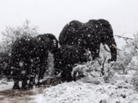 Elephants in South Africa snow (Kitty Viljoen / Twitter)