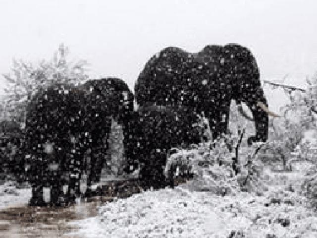 Elephants in South Africa snow (Kitty Viljoen / Twitter)