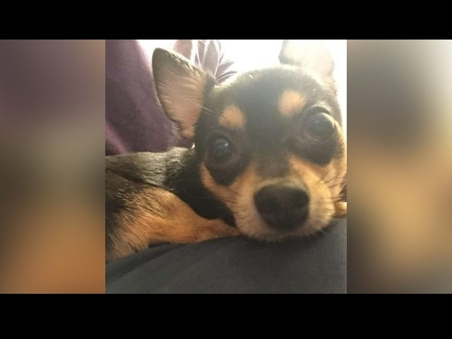Dunky, a 4-year-old Chihuahua, died after a suspect broke into a car and threw him over a railing near San Francisco's Union Square, police said. SOURCE: SFPD via SF Gate