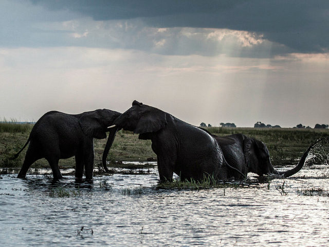 Elephants splash at sunset in the waters of the Chobe river in Botswana Chobe National Park, in the north eastern of the country on March 20, 2015. African elephants could be extinct in the wild within a few decades, experts warned on March 23, 2015 at a major conservation summit …