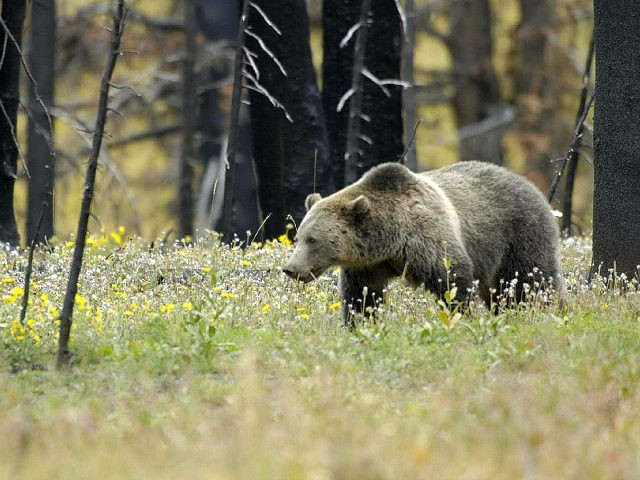 grizzly bear / grizzlies