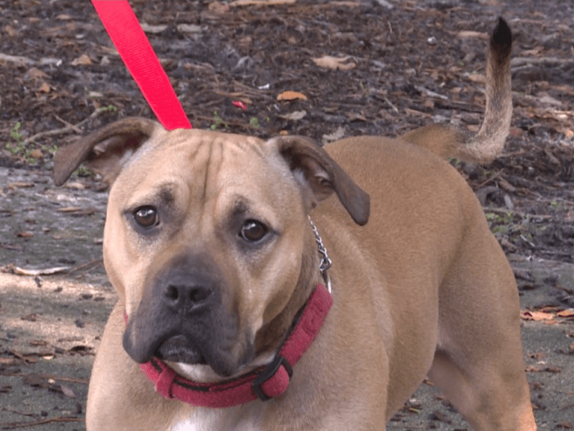 Police near Ontario, Canada busted a dog fighting ring in 2015. His mother was pregnant with Dallas and his siblings at the time. Dogs labels as pit bulls are banned, according to the Ontario Ministry of the Attorney General, so Dallas was at risk of being put down in a …
