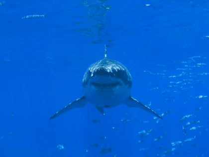 White shark populations in the Atlantic and Pacific are growing