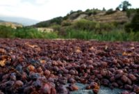 Cypriot Mavro grapes are sun-dried in a field in the village of Monagri in the Troodos mountains in Cyprus