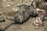 South Africa's iconic Kruger park has long borne the brunt of rhino poaching