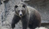 Federal judge restores grizzly bear protections, cancels hunts